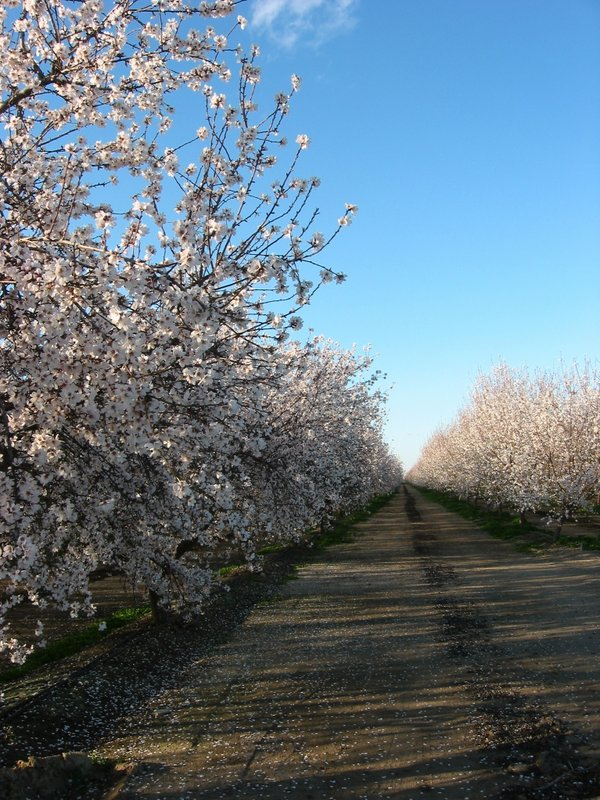 Allee of almond trees in bloom