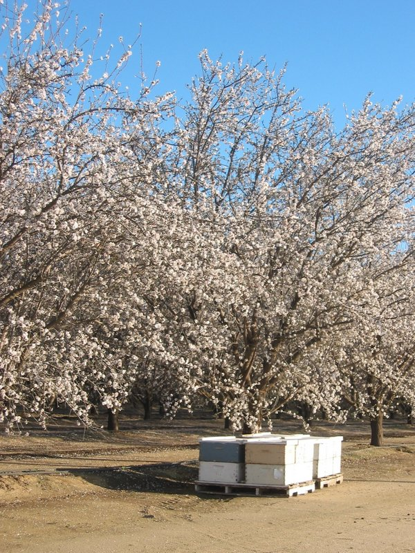 Stacks of bee boxes near almond orchard