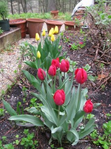 Springtime red tulips, an act of optimism