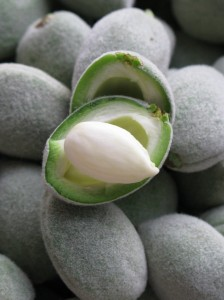 Green Almond Nutlet on the Half Shell