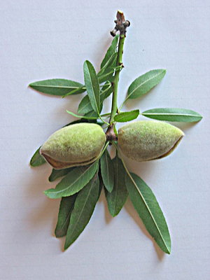 Fresh Ripening Almond