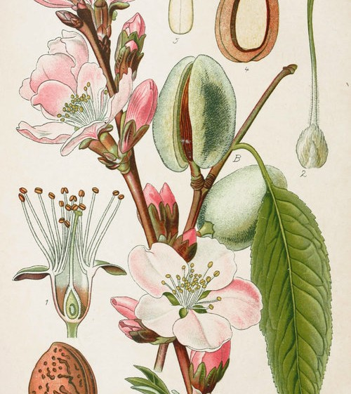 Almond botanical illustration from Germany circa 1903