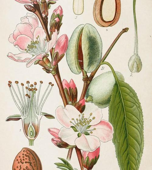 Almond botanical illustration from Germany circa 1903