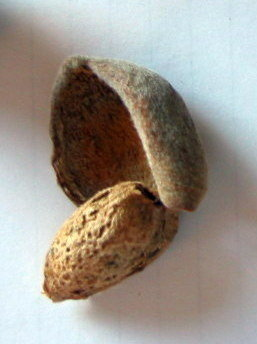 Almond ready to harvest, hull split