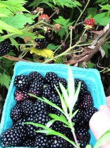 Collecting ripe blackberries 2