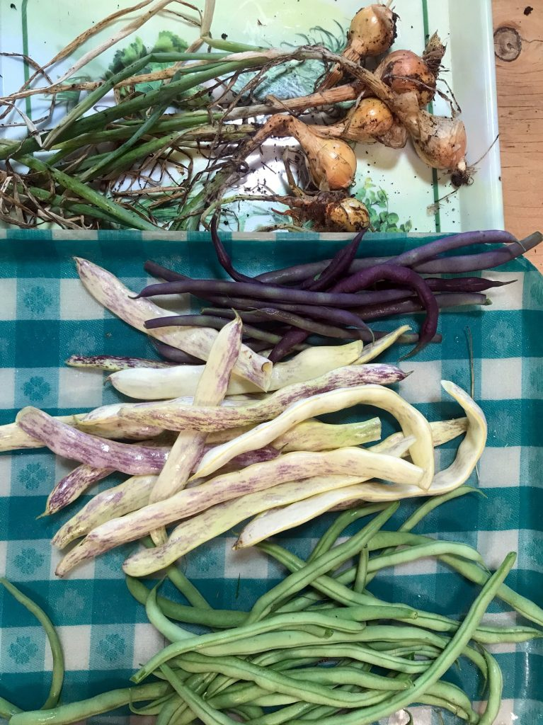 Beans, broad beans, Italian purple beans and small onions.